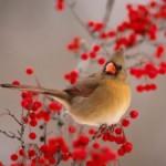 Природа на страже здоровья или чем полезна рябина красная?
