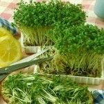 Полезные свойства кресс салата