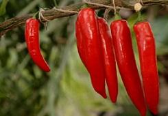 Полезные свойства красного перца