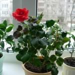 Пара советов как ухаживать за комнатной розой