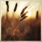 Чем полезна пшеница?