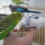 Чем кормить волнистого попугая
