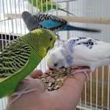 Чем кормить попугая волнистого
