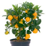 Выращиваем апельсиновое дерево из косточки