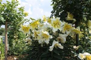 Как пересаживать лилии