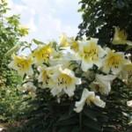 Как правильно пересаживать лилии