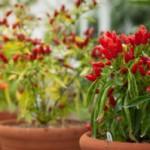 Как вырастить острый перец дома