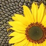 Чем полезен подсолнух и его семена