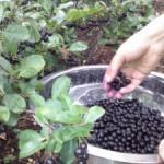 Как хранить черноплодную рябину
