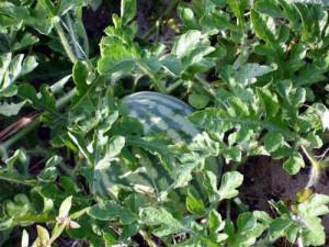 Как в Подмосковье вырастить арбуз