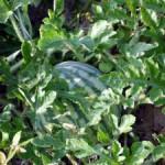Как в Подмосковье успеть вырастить вкусный арбуз
