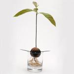 Авокадо: как вырастить его дома?
