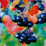 Как стабилизирует давление черноплодная рябина