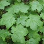 Чем полезны листья черной смородины?