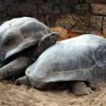 Как отличить самку черепахи от самца