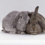 Как отличить самку кролика от самца?