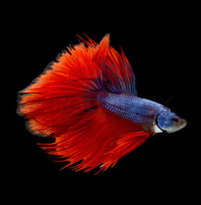 Как отличить самку рыбки петушка от самца