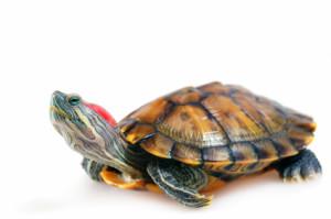 Как определить вид черепахи