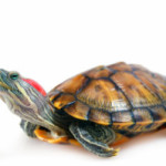 Как определить вид черепахи самостоятельно
