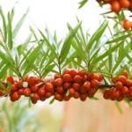 Как отличить облепиху мужскую от женской, чтобы растение плодоносило