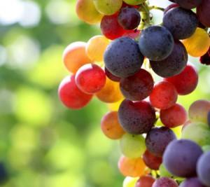 Как определить спелость винограда