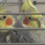 Как отличить самку кореллы от самца по внешним признакам и поведению