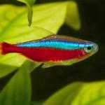 Особенности содержания неоновых рыб и как отличить самку неона от самца?