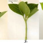 Выращивание гортензии из черенка
