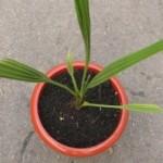 Секреты выращивания финика из косточки
