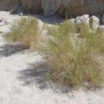 Солянка холмовая: применение и противопоказания